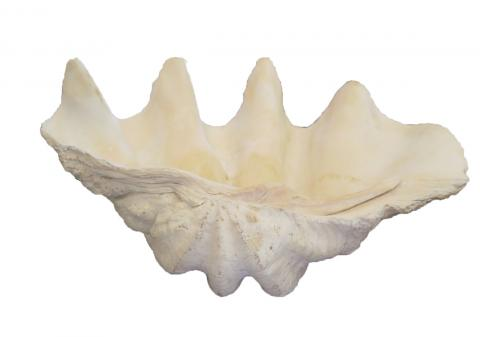 real sea shell